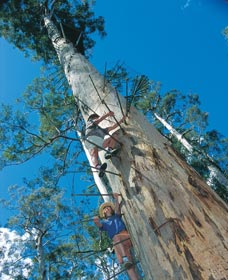 Dave Evans Bicentennial Tree - Accommodation NT