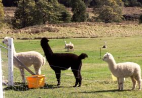 Maydena Country Cabins Accommodation  Alpaca Stud - Accommodation NT