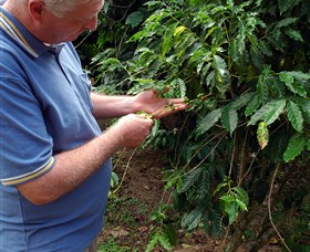 Wombah Coffee Plantation - Accommodation NT