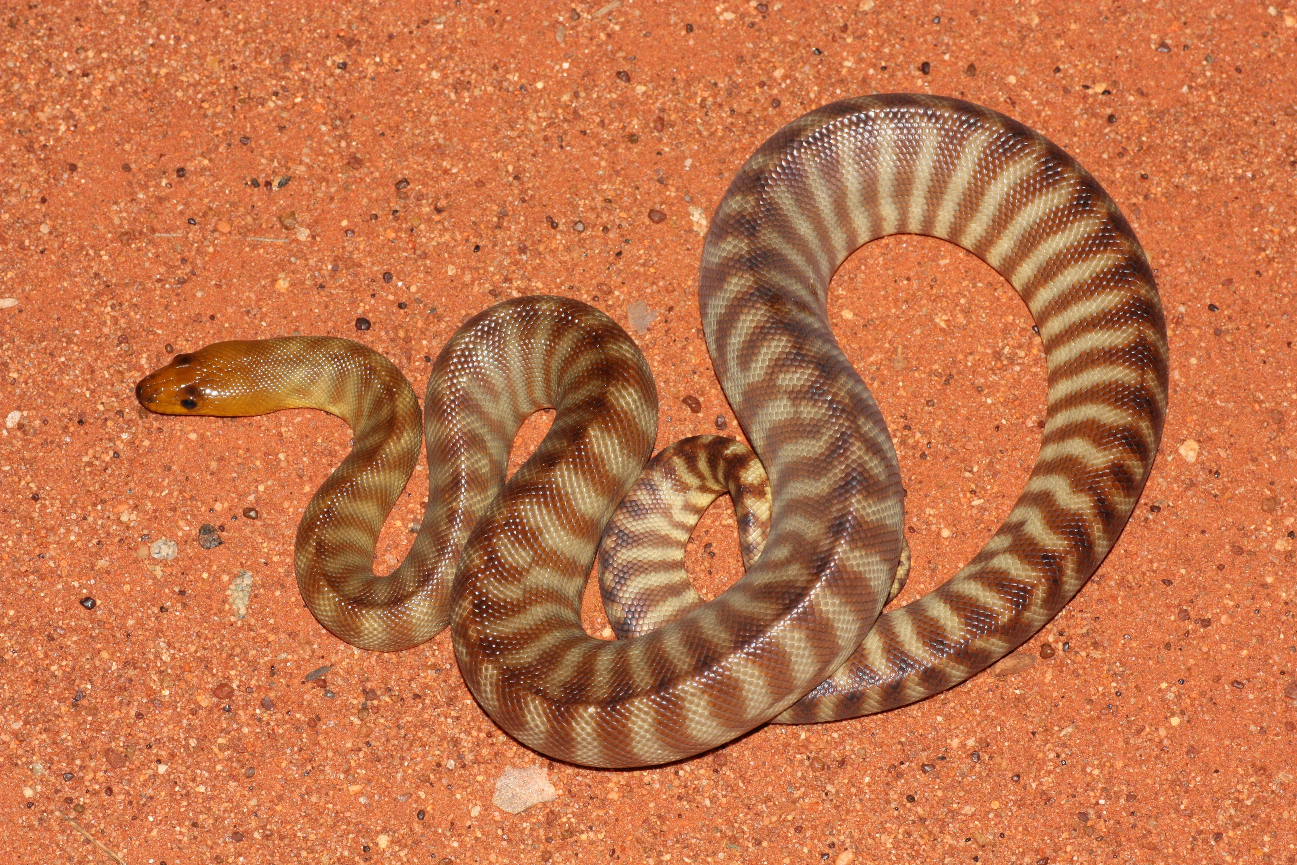 Red Desert Reptiles - Accommodation NT