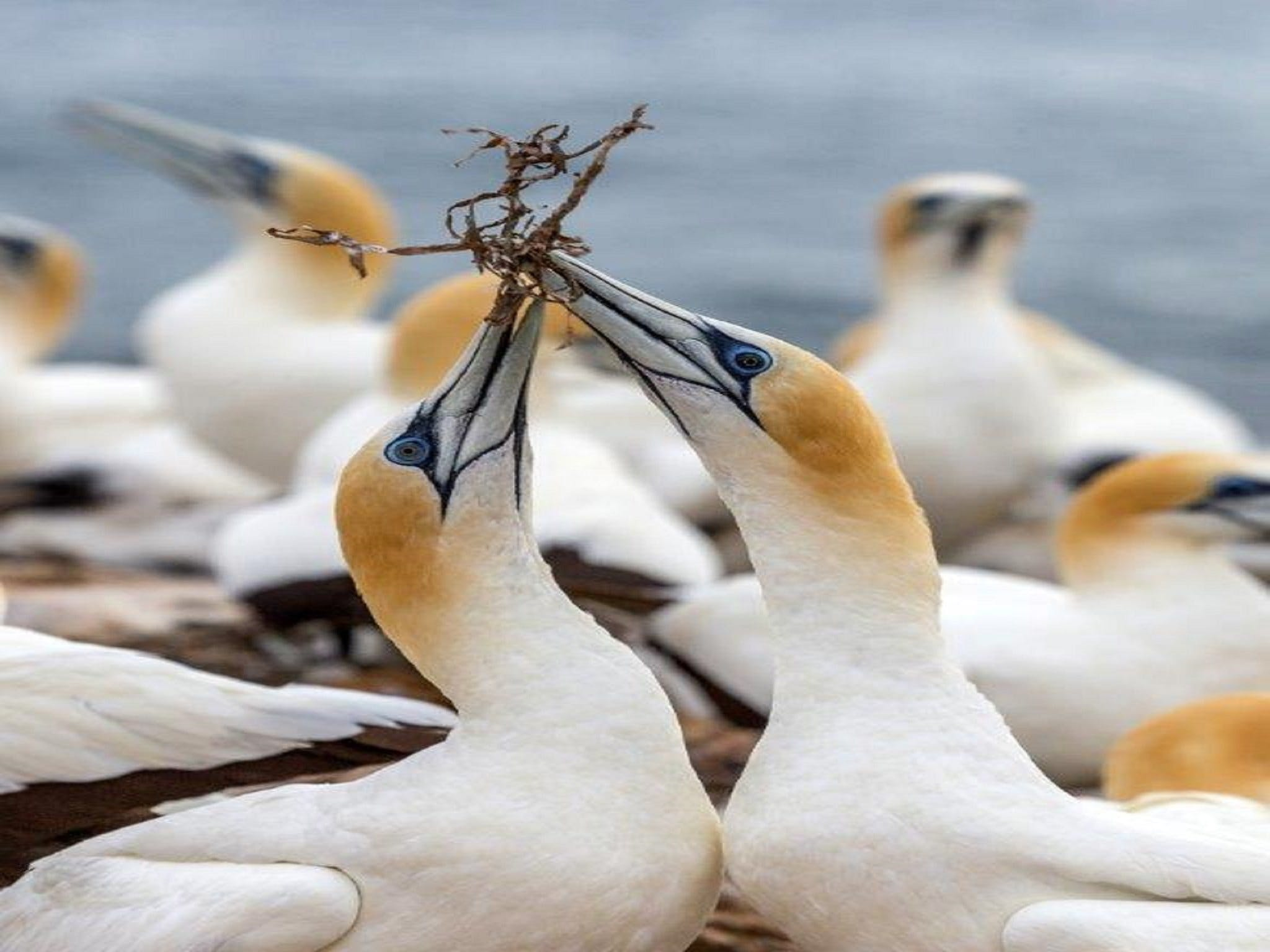 Gannets in Portland - Accommodation NT