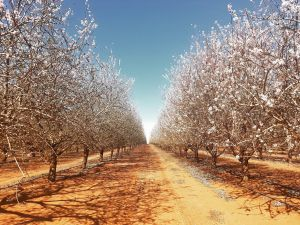 Mallee Almond Blossom Festival - Accommodation NT