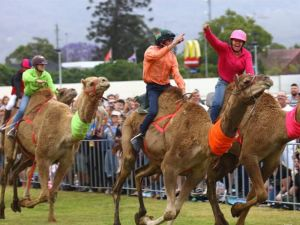 Camel Races at Penrith Paceway - Accommodation NT