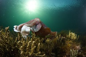 Cuttlefish Diving  Snorkeling EVERYDAY May -August - Accommodation NT